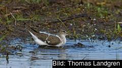 På bild är en badande fågel vid Hallandskusten. Sverige anklagas för att inte skydda den biologiska mångfalden enligt fågeldirektivet.